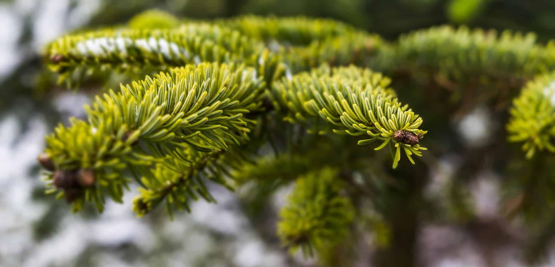 Christmas Tree Allergy: Can an Air